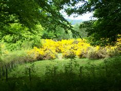 The beautiful gorse in full bloom at the edge of a woodland trail, Fife, Scotland.