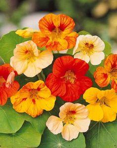 Découvrez les #plantes comestibles  http://www.aujardindewillemse.fr/les-plantes-qui-se-mangent
