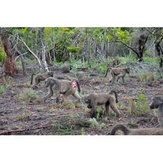 Baboons spend most of their time foraging on the ground. They climb trees to escape predators, get food or to sleep. A favourite place to sleep is tall rocky outcrops but sleeping sites can also be cliffs, trees and sometimes caves or under rock overhangs.    Baboons have cheek pouches where they store their food. They rely on others in the troop for food and water. Everyone contributes to this task. Baboon, Image Shows, Caves, Predator, Pouches, Sleep, Rock, Store, Animals