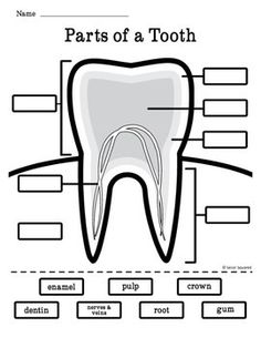 Label the parts of a tooth homeschool science biology dental health tooth diagram freebie ccuart Image collections