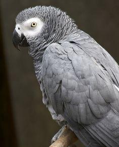 #Bird #parrot #gray