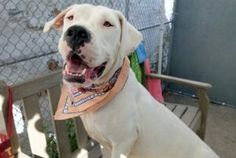 SUPER URGENT  11/13/16 A volunteer writes: A stand up hug was my hello from Blanca, and I've never had a more gentle greeting. So happy to be out and meet new staff, her tail wags as everyone gets a gentle hug. So sweet. We head outside where she uses the 'facilities' immediately so may be housetrained and we're off to the park. Blanca pulls slightly on leash from time to time but is completely manageable, and watching her gently wagging tail as we walk is like watching ripples in…