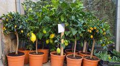Árvores frutíferas em vasos: dicas práticas e LISTA de quais cultivar em cada região
