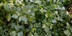Μαϊντανός σε γλάστρα, 6 μυστικά για την καλλιέργειά του | Τα Μυστικά του Κήπου Parsley, Herbs, Plants, Diy, Gardening, Dreams, Bricolage, Lawn And Garden, Herb