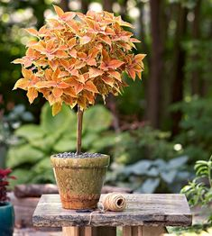Topiary do it yourself topiary with coleus - Topiaries give a garden a classic look, and show off meticulous pruning skill. Take a colorful coleus to new heights with a simple trimming and staking technique to make this DIY topiary. Topiary Plants, Topiary Garden, Topiary Trees, Topiaries, Porch Plants, Hydroponic Farming, Hydroponics, Diy Hydroponik, Brick Garden Edging