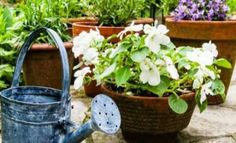 Ένας τρόπος για να κάνετε τα φυτά σας να μεγαλώσουν γρηγορότερα είναι να τα ποτίζετε με club soda. Θα κάνει τα φυτά σας να μεγαλώνουν όμορφα. Ποτίστε τα φυτά σας με σόδα Ο λόγος για τον οποίο σόδα είναι καλύτερη από το απλό νερό για τα φυτά, είναι ότι περιέχει φωσφορικό άλας και άλλα θρεπτικά συστατικά που Garden Works, Tower Garden, Urban Farming, Watering Can, Mykonos, Diy Flowers, Agriculture, Kai, Planter Pots