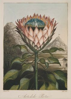 "Image result for Artichoke Protea (from Dr. R. J. Thornton, ""Temple of Flora"", London, 1812)"