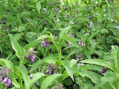 Smeerwortel wordt gebruikt bij klachten aan spieren en gewrichten.