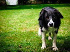 Kanka a border collie  #dog #bordercollie #dogphoto #dogportrait