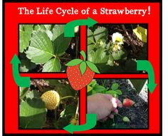 The Little Mouse, the Red Ripe Strawberry, and the Big Hungry Bear Activities