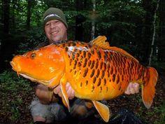Koi Carp, Funny Pictures, Funny Pics, Carp Fishing, Goldfish, Fresh Water, Animals, Amazing, Board