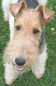 Wire haired fox Terrier. They can be a handful!