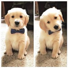 Golden Retriever #puppy wearing a bow tie
