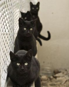 4 black cats - Black kitties are my favorite :) haha its my kitty again Cool Cats, I Love Cats, Baby Cats, Cats And Kittens, Black Kittens, Gatos Cat, Gato Grande, Photo Chat, Tier Fotos