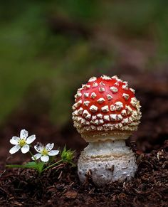 Mushroom: Amanita muscaria commonly known as the fly agaric or fly amanita, is a mushroom and psychoactive basidiomycete fungus, one of many in the genus Amanita. Wild Mushrooms, Stuffed Mushrooms, Slime Mould, Plant Fungus, Mushroom Fungi, Amazing Nature, Mother Nature, Fruit, Landscaping Ideas