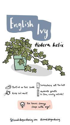Ivy (Hedera spp.) - Plants | Candide Gardening