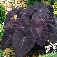 "Colocasia - Elephant ears ""Black Magic"" to hide the AC compressor. Colocasia - Elephant ears Black Magic to hide the AC compressor. Tropical Garden, Tropical Plants, Outdoor Plants, Outdoor Gardens, Shade Garden, Garden Plants, Black Elephant Ears, Elephant Elephant, Elephant Ear Plant"