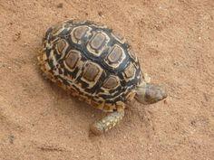 Kruger Park tortoise