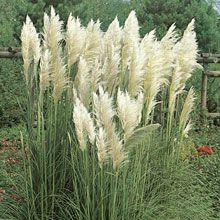 Vitt Pampasgräs 'White Feather' Balcony Garden, Garden Plants, Flowers Canada, Grass Weeds, Natures Sunshine, Garden Theme, White Gardens, Flower Pictures, Flower Beds