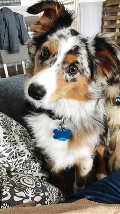 The Australian Shepherd Puppy Size Australian Shepherd Facts Source by caitlyn__xx The post Australian Shepherd Facts appeared first on Coulson Puppies. Cute Baby Dogs, Cute Dogs And Puppies, Cute Baby Animals, Doggies, Merle Australian Shepherd, Mini Australian Shepherds, Beautiful Dogs, Animals Beautiful, American Shepherd