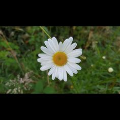 18 vind-ik-leuks, 1 reacties - R. Alma (@almaatje2403) op Instagram: '#Camomile #Kamille #Flower #Nature #Naturephotography #Photographylover #Naturelover #Summer'