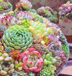 The plants are the most beautiful when they give amazing flowers! Sometimes it is not easy to make your succulents happy to thrive. Learn here all about flowering succulents. Flowering Succulents, Growing Succulents, Succulents In Containers, Cacti And Succulents, Planting Succulents, All Plants, Garden Plants, Rainbow Succulent, Cactus