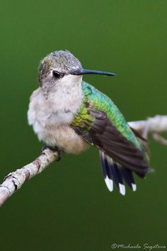 An attentive female Ruby Throated hummingbird.