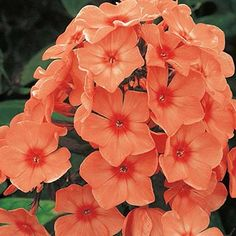 Think big this summer with Tall Phlox flowers. After spring's spectacular bounty, keep your garden lively with these giants, which reach 2 to 3 feet tall. Phlox Flowers, Planting Flowers, Orange Flowers, Summer Flowers, Tall Phlox, Phlox Plant, Cut Flower Garden, Sun Plants, Hardy Perennials