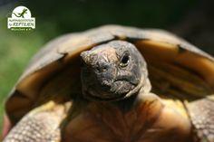 Im Gegensatz zu vielen anderen Reptilien sind die Europäischen Landschildkröten in der breiten Bevölkerung noch relativ beliebt. Zahlreiche Haltungsfehler sind aber auch hier weit verbreitet, weshalb vor der Erstanschaffung eines solchen Tieres eine Beratung dringend anzuraten ist.