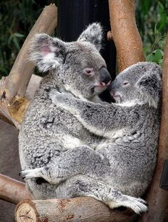 Koala Kisses - Mom and baby. San Diego Zoo.My favorite animals to see at the zoo when I was a little girl.