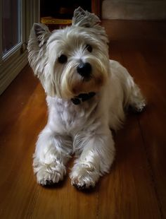 Billy the Westie - Collections - Google+