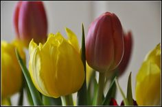 Tulipani - Casa