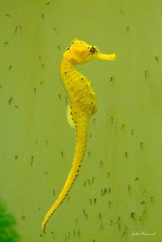 Seahorse with new born babies