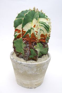 Astrophytum ornatum v.glabrescens f. var