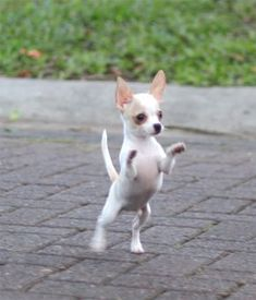 Effective Potty Training Chihuahua Consistency Is Key Ideas. Brilliant Potty Training Chihuahua Consistency Is Key Ideas. Cute Baby Animals, Animals And Pets, Funny Animals, Cute Puppies, Cute Dogs, Chihuahua Love, Teacup Chihuahua Puppies, Baby Dogs, Little Dogs