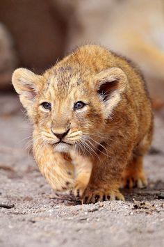 Walking lion cub by Tambako the Jaguar on Flickr.