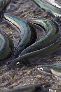 nunavut fishing industry