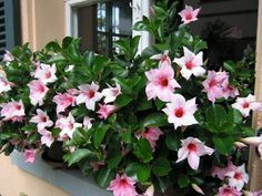 Dipladenia ist eine robuste, pflegeleichte Pflanze, die sich hervorragend für G… Dipladenia is a sturdy, easy-to-care plant that is excellent for gardening and … – Window Box Flowers, Window Boxes, Flower Boxes, Containers For Sale, Landscape Plans, Diy Planters, Live Plants, Container Gardening, Garden Landscaping