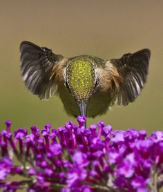 The calliope is the smallest of our hummingbirds. The bird next to this butterfly bush bloom shows just how little it is. Awsome Pictures, Bird Pictures, Hummingbird Garden, Hummingbird Tattoo, All Birds, Little Birds, Pretty Birds, Beautiful Birds, Colorful Birds