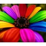 Rainbow Flower photo - download this photo for free