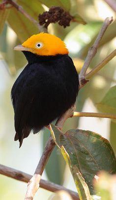 Golden Cap Manakin Bird