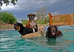 Taking The Pool Over - funnydogsite.com #dogs #funny #cute