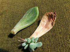 Eindelijk..zo'n beetje het leukste wat er is, geduldig werkje ook....vermeerderen van vetplanten.   Het is heel gemakkelijk, maar vereis...