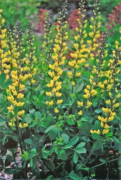 "Add a burst of sunshine to your perennial garden with Decadence 'Lemon Meringue'. This baptisia is a vigorous native cultivar. Long, charcoal grey stems carry the cool lemon yellow flowers, producing an excellent floral display, reaching a height of 36"", hardy to zone 4."
