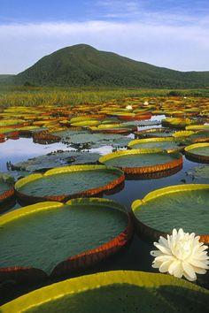 Vitoria Regia Water Lily. / Nénuphars géants. / at Pantanal Matogrossense, Brazil. / Le Pantanal, Brésil.