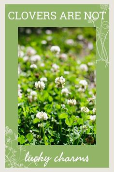 This is no 4-leaf clover! Find out why most homeowners engage in an epic battle with this invasive lawn weed. Compost Tumbler, Weeds In Lawn, 4 Leaves, Herbs, Weed Control, Composting, Reuse, Battle, Backyard