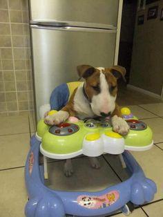 Baby Bull Terrier
