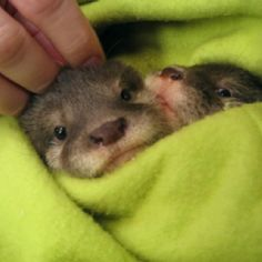 Sonoran Living had these cuties from Wildlife zoo Baby otters