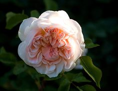 Evelyn rose, an apricot pink English rose that smells divine!