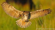 great horned owl landing_std.jpg 600×323 pixels